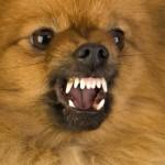 Pomeranian Dog Bite