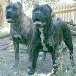 Dog expert Cane Corso