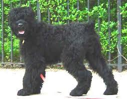 Russian Terrier