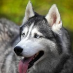 Siberian Husky fatal dog attack on infant in Minnesota and Alberta, Canada