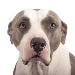 dog bite expert pit bull