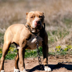 Pit bull attacks six-year-old in Utah after breaking free from chain