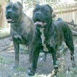 Vicious and near-fatal dog attack by Italian mastiffs in Virginia