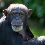 chimp mauling