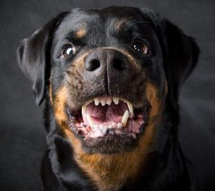 Rottweiler attack nets $250K for dog bite victim in Utah