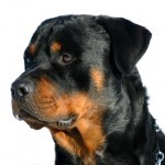 $500,000 punitive damage award in Rottweiler dog bite attack in Hawaii